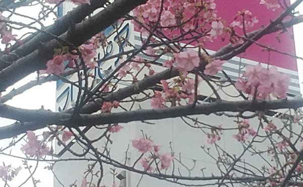 河津桜三分咲き